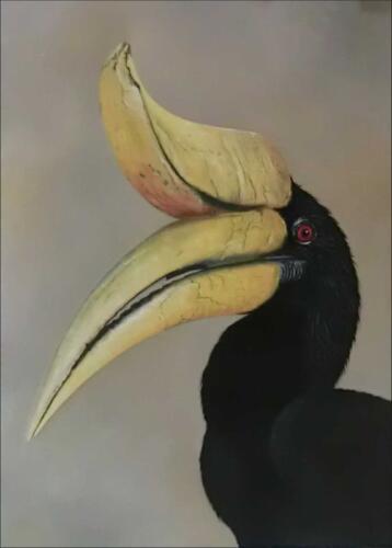 Zoborožec nosorohý / Rhinoceros Hornbill